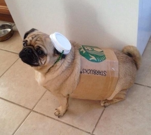 pug halloween costume spice latte