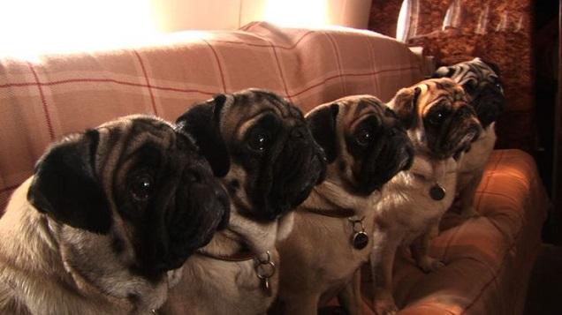 pugs listening dogs