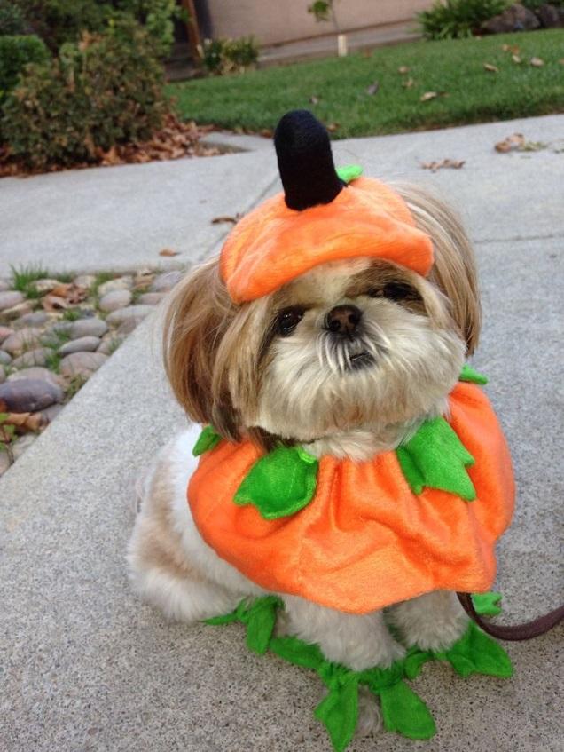 pumpkin shih tzu halloween