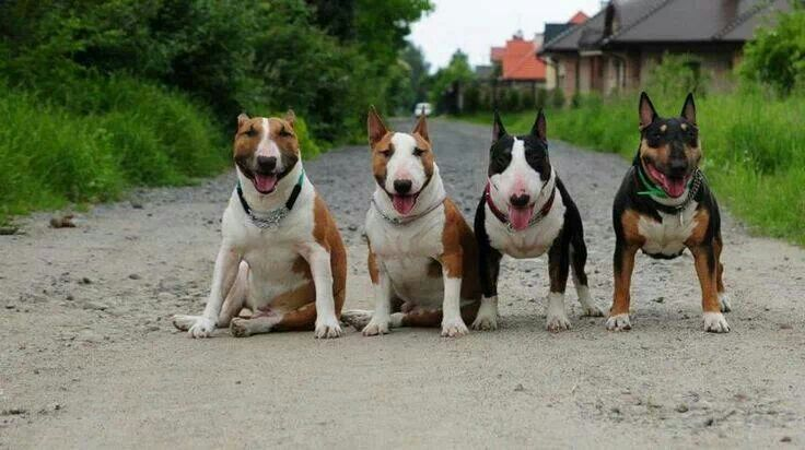 ready bull terriers photo