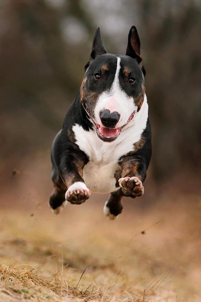 running bull terrier photo