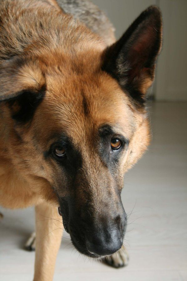 19 Things All German Shepherd Owners Must Never Forget