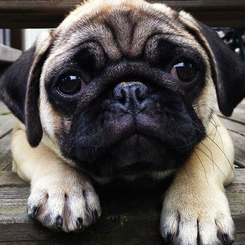 sad pug looking photo