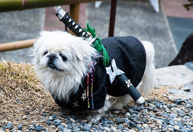 samurai costume pekingese