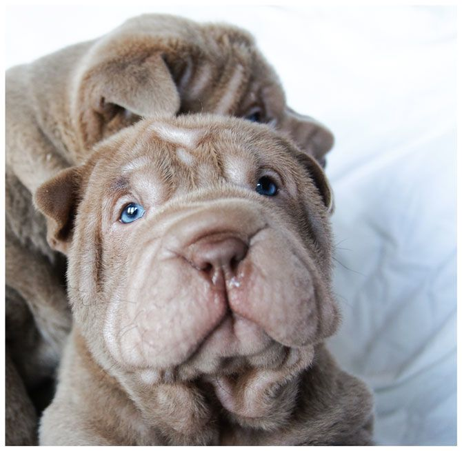 Cats Eyes Road >> 12 Reasons Why You Should Never Own Shar Peis