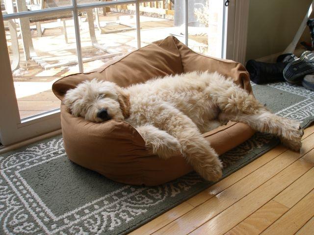 sleeping goldendoodle