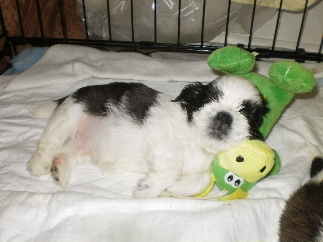 sleeping shih tzu puppy toy