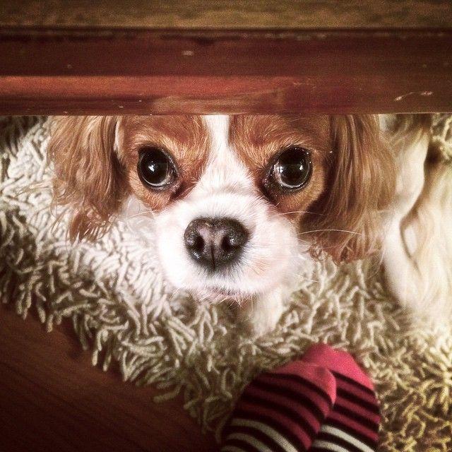 spaniel charles dog face
