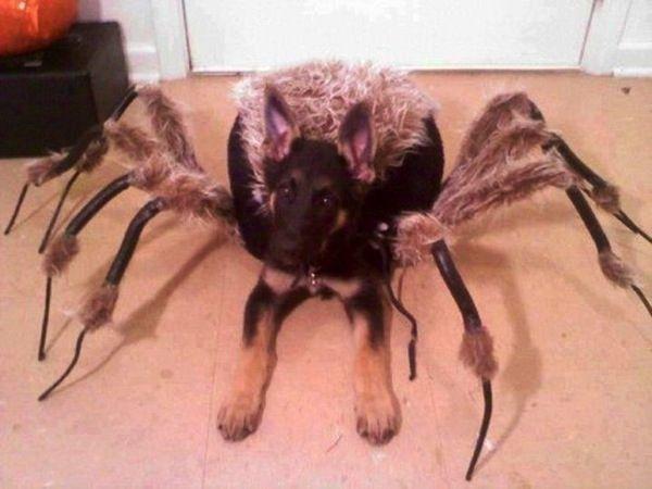 spider gsd