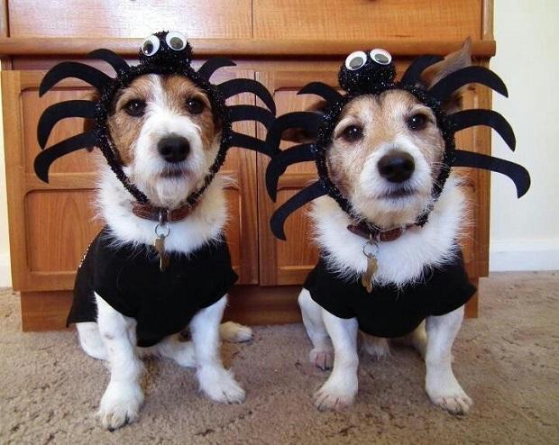 spiders jack russells halloween
