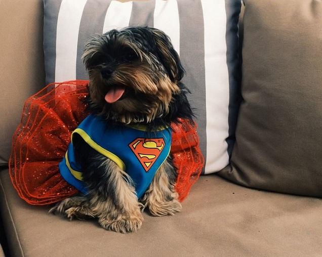 super hero shih tzu costume