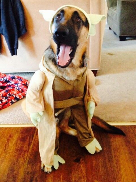 german shepherd spider costume 19 costumes that prove german shepherds always win at 5455