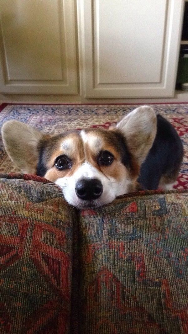 watching you corgi