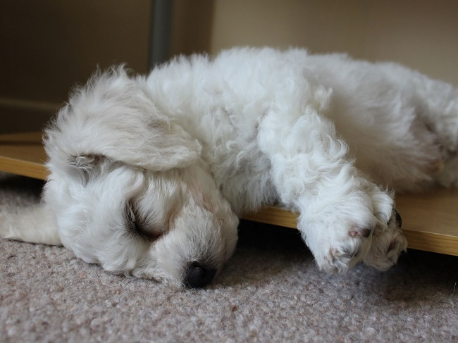 Bichon Frise sleeping