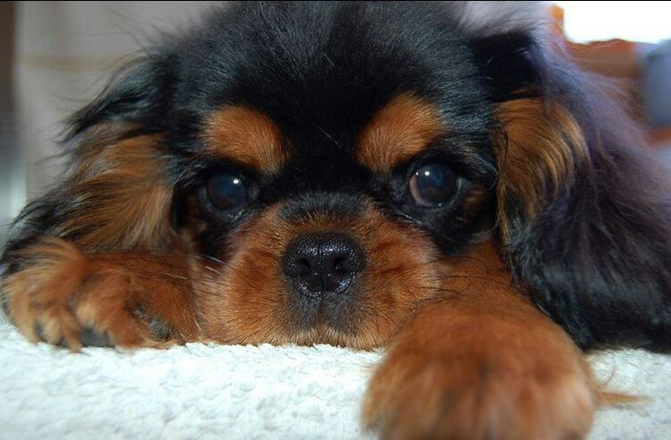 Cavalier King Charles Spaniel puppies for sale   Well-bred ...