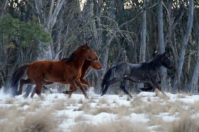 Brumbies horse run