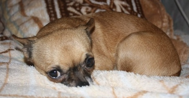 16 Things All Chihuahua Owners Must Never Forget