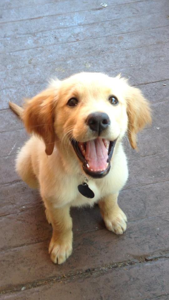 Golden Retriever happy