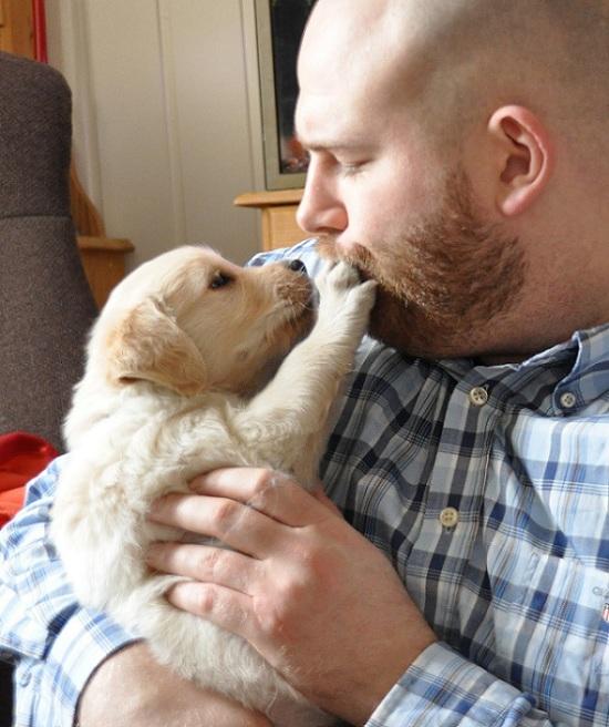 Golden Retriever pup man