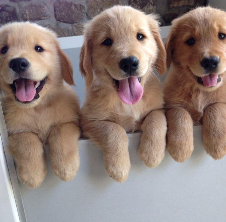 Golden Retriever puppies photo