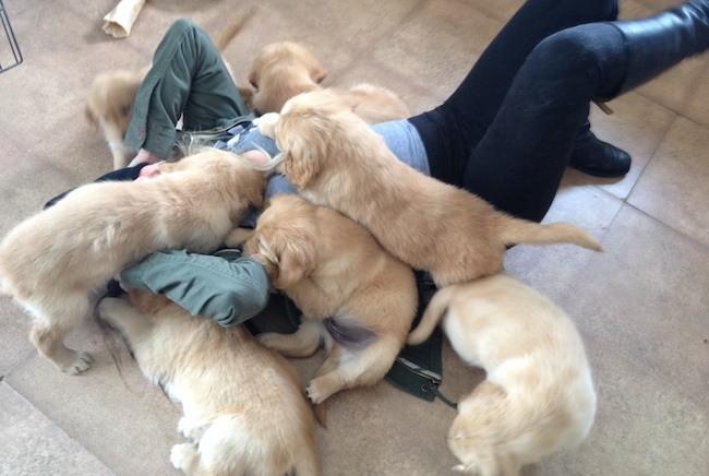 Golden Retriever puppies play