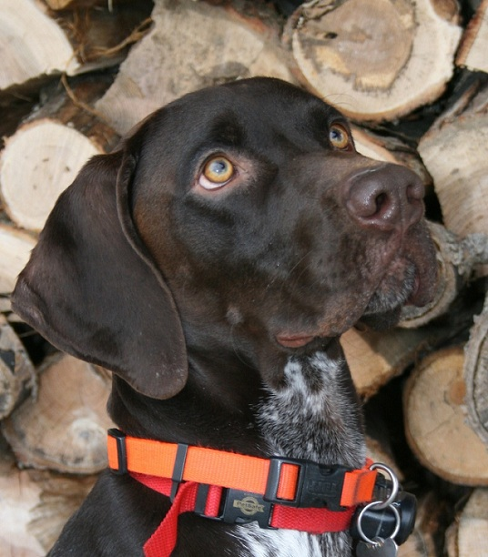 Pointer dog photo