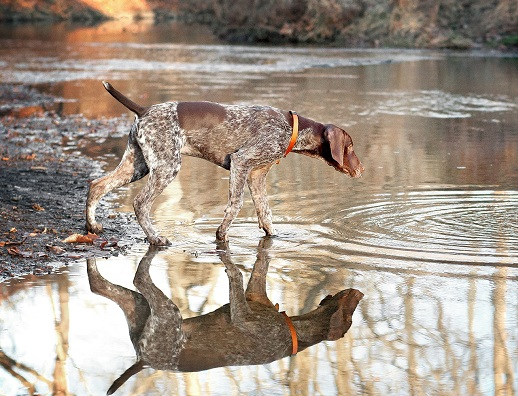 Pointer dog river