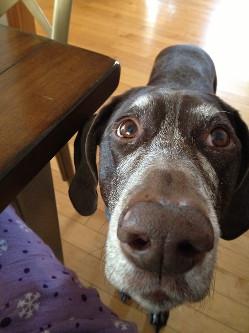 Pointer senior dog