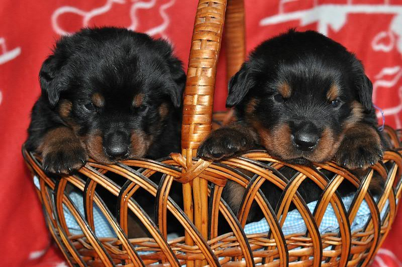 Rottweiler cute puppies