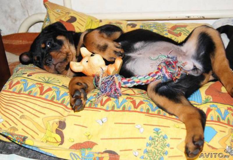 Rottweiler puppy toys