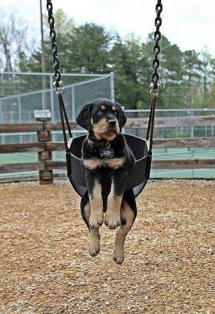Rottweiler swing