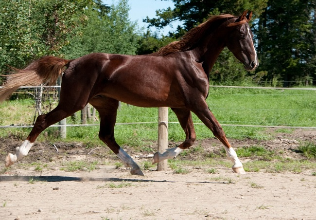 The American Saddlebred running