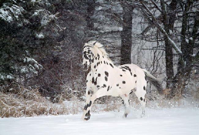 The Appaloosa horse winter