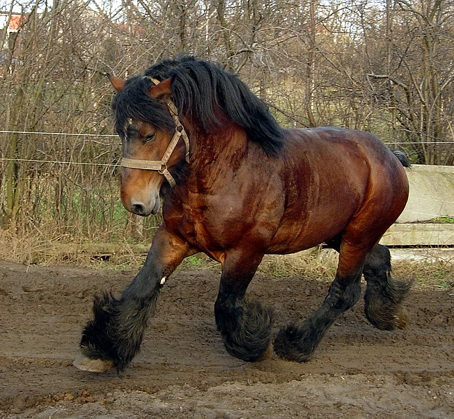 The Belgian horse running