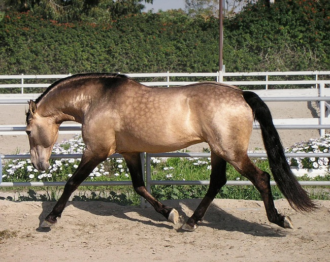 The Lusitano