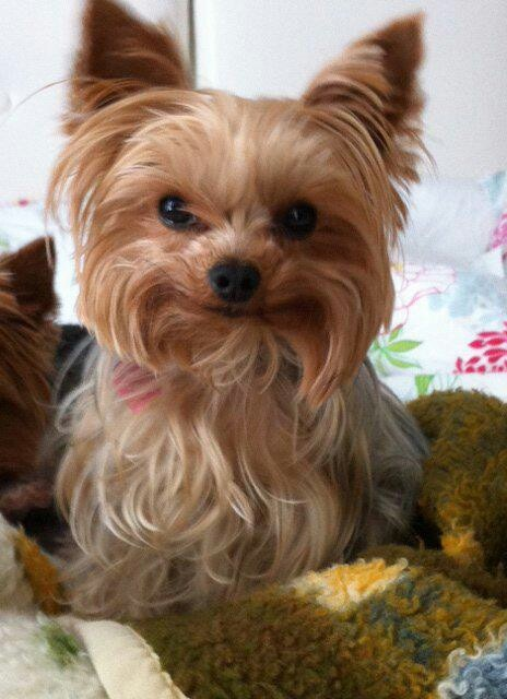 Small in size but big in personality, Here are TOP 10 interesting facts about Yorkshire Terrier.
