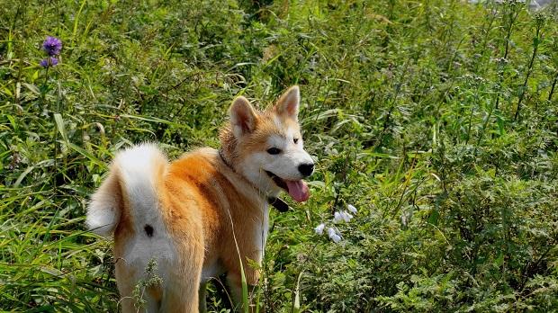 akita inu grass puppy