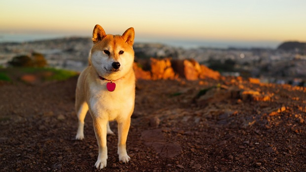 awesome dog akita inu pics