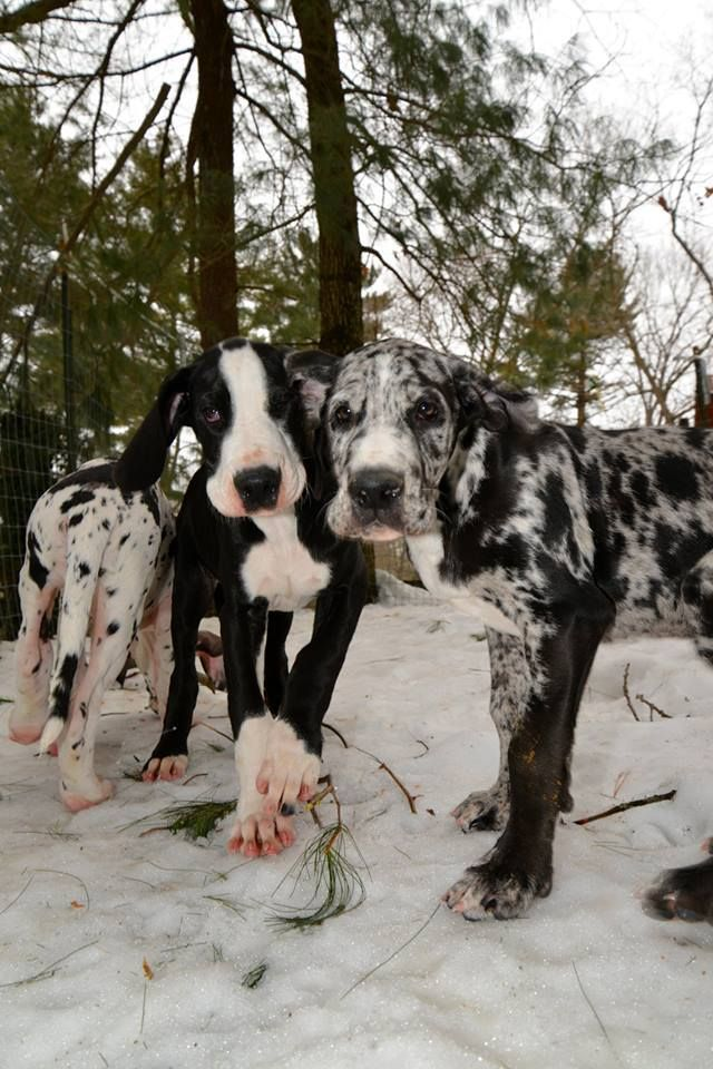 awesome great dane dogs pics