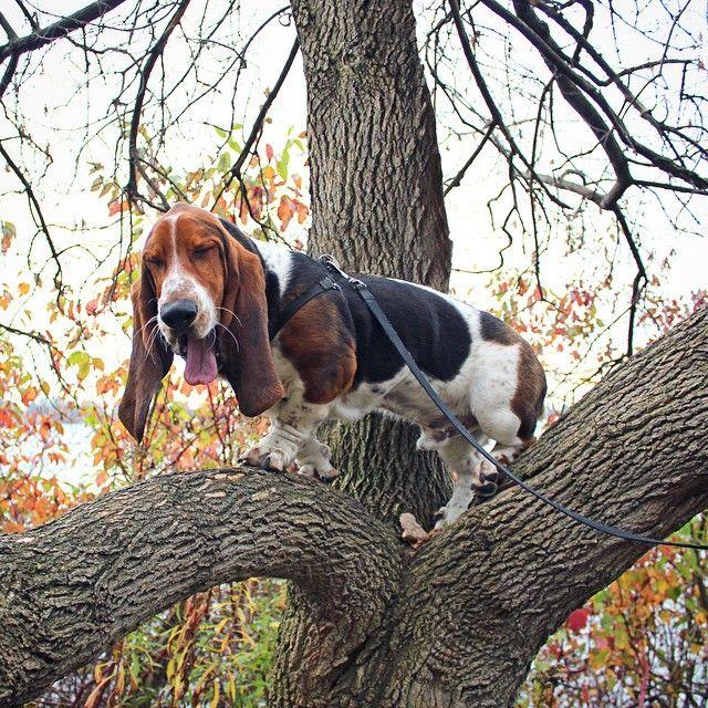 Resultado de imagen para basset hound tree