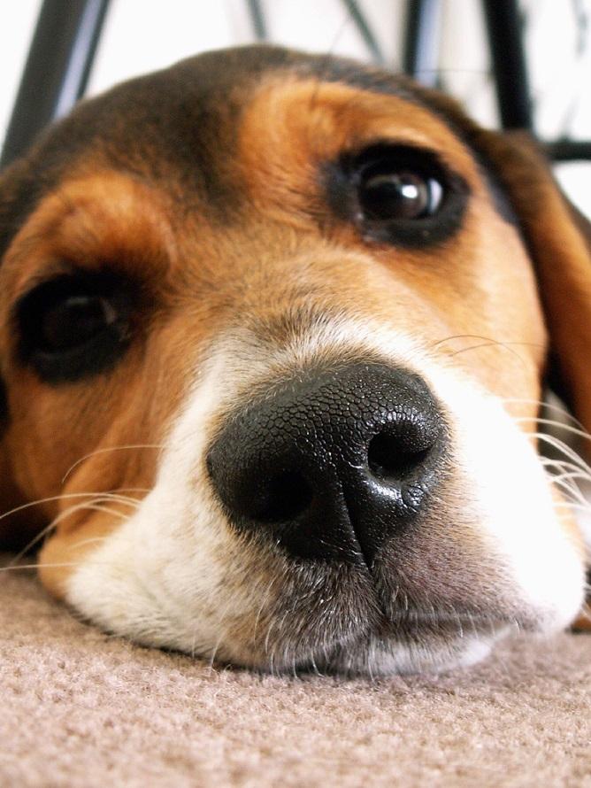 Resultado de imagen para beagle sad