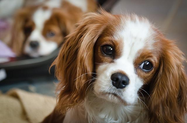 Fantastic Charles Spaniel Brown Adorable Dog - beautiful-spaniel-king  Pictures_285662  .jpg