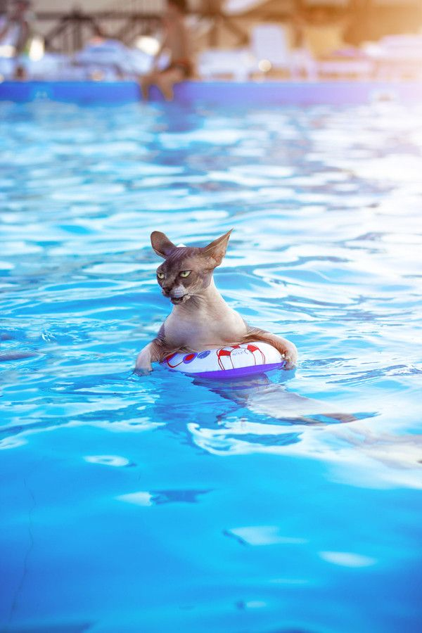 Cat In Swimming Pool : Top things sphynx cats don t like