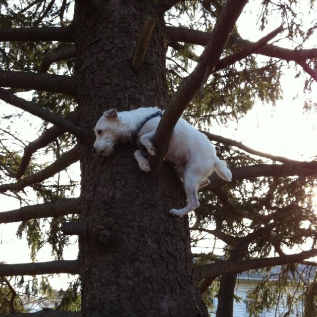 Resultado de imagen para jack russel tree