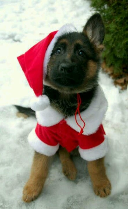 cute GSd dressing up
