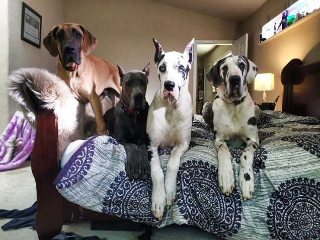 9 Weird Things We Do As Great Dane Parents Sonderlives