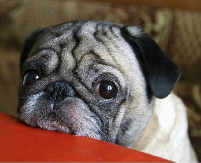 cute pug face pics eyes closeup