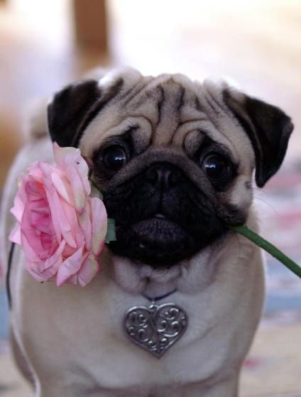 cute pug flower rose