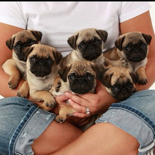 cute pugs photo family