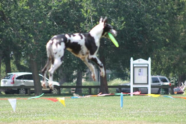 flying dog great dane pics